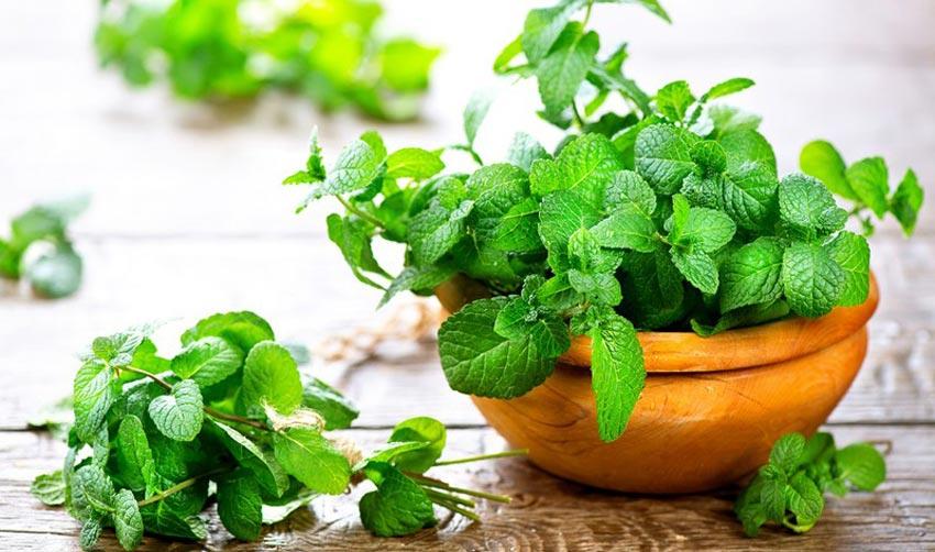 bạc hà - thảo dược hỗ trợ giảm béo