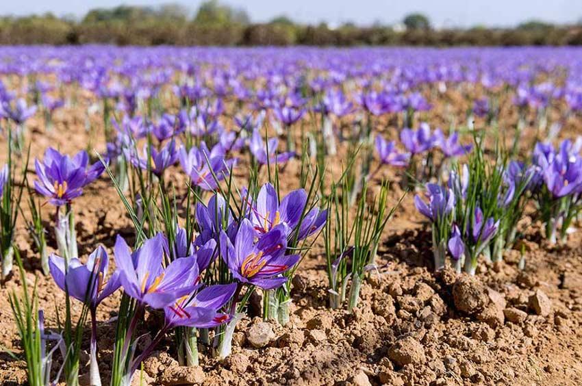 Một số yếu tố ảnh hưởng tới giá của Saffron